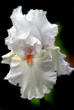 iris white Obraz Stock