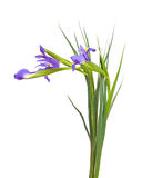 Iris on white  background Stock Photos