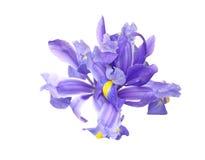 Iris in a white background Royalty Free Stock Photo