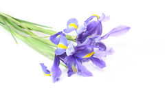 Iris in a white background Royalty Free Stock Image
