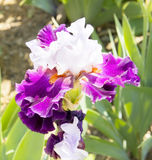 Iris of white and violet colours Royalty Free Stock Image