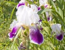 Iris white-violet Royalty Free Stock Images