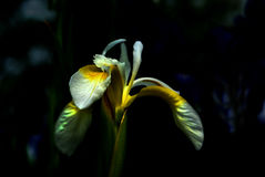 White and yellow Iris. A white and yellow iris brightly lit by the early morning sun with a dark background Stock Images