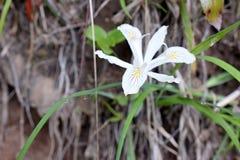 Iris Wild Yellow Highlights blanca imágenes de archivo libres de regalías