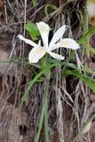 Iris Wild Yellow Highlights blanca 02 imagenes de archivo