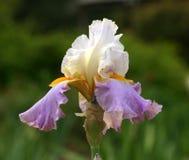 Iris wit mauve goud stock afbeelding