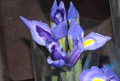 Iris x hollandica, niederländische Iris Lizenzfreies Stockbild