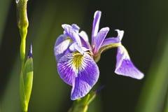 Iris xiphium, Spanish Iris Royalty Free Stock Image