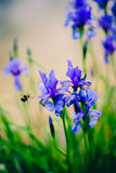 Iris y abeja Fotos de archivo
