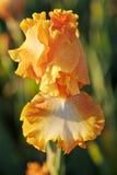 iris złoty zmierzch Zdjęcie Stock