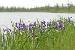 Irisanstrykninglake royaltyfria foton