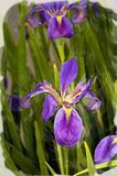 Irisbild als Aquarellwiedergabe stock abbildung