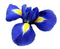 Irisblåttblomma Vit isolerad bakgrund med den snabba banan Closeup inga skuggor Royaltyfri Bild