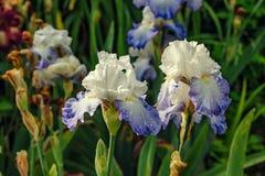 Irisblüte im Garten Stockbild