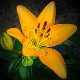 Irisbloem in de tuin stock fotografie