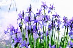 Irisbloem dichtbij het water Stock Foto's