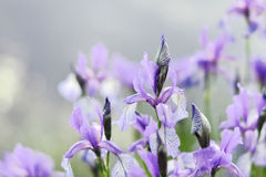 Irisbloem dichtbij het water Stock Foto