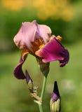 Irisbloem in een tuin Stock Afbeelding