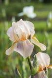 Irisbloem met lichtrose bloemblaadjes Stock Fotografie