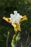 Irisbloem met zuivere witte bovenkant en room gekleurde bodem Stock Afbeelding