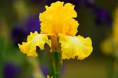 Irisbloemen in bloesem in een beroemde tuin dichtbij Florence royalty-vrije stock foto