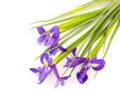 Irisbloemen op wit worden geïsoleerd dat Royalty-vrije Stock Foto