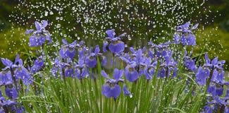 Irisbloemen in regen Stock Foto's