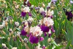 Irisblomma i försommar Arkivbild