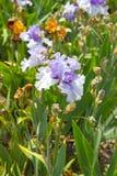 Irisblomma i försommar Arkivfoto