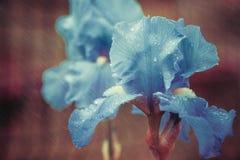 Irisblomma med regniga droppar Fotografering för Bildbyråer