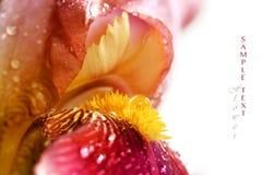 Irisblomma med vattendroppar Royaltyfri Fotografi