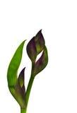 Irisblomma på en vit bakgrund Arkivbilder