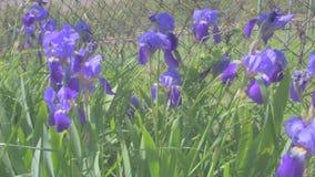 Irisblomma som är rörd i vinden Filmisk blick, video 4K lager videofilmer