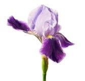 Irisblomma som isoleras med den snabba banan Royaltyfria Bilder
