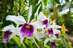 Irisblommablomning Royaltyfri Foto