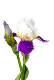 Irisblommaisolat på en vit bakgrund Royaltyfria Bilder