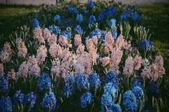 Irisblomman i Peterhofs parkerar, Ryssland Royaltyfri Fotografi