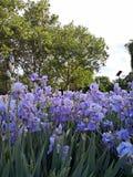 Irisblommor arkivfoton