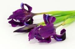 Irisblommorna Arkivfoto