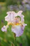 Irisblume Lizenzfreies Stockfoto