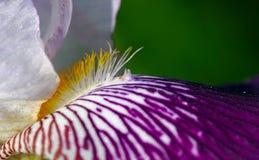 Irisblume Lizenzfreie Stockfotografie