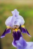 Irisblume Lizenzfreie Stockbilder