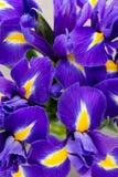 Irisblume auf dem grauen Hintergrund Lizenzfreies Stockfoto