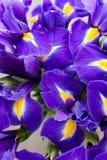 Irisblume auf dem grauen Hintergrund Lizenzfreie Stockbilder