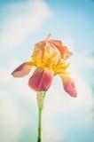 Irisblume auf dem Himmel Stockbild