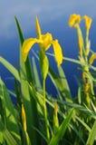 Irisblume in der Natur Lizenzfreies Stockbild