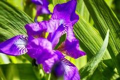Irisblume in der Natur Lizenzfreie Stockfotografie