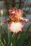 Irisblume, die im Garten blüht Lizenzfreie Stockbilder