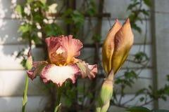 Irisblume, die im Garten blüht Stockfoto