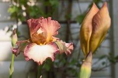 Irisblume, die im Garten blüht Lizenzfreie Stockfotos